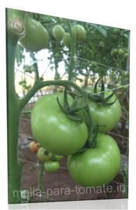 malla-para-tomate.in