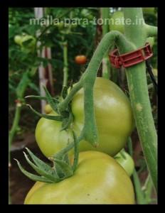 Pedúnculo de tomate ahorcado